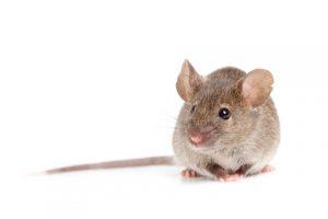 souris grise avec longue queue